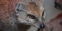 Eine Mungo schaut scheinbar grimmig. Auf dem Bild ist nur sein Kopf abgebildet.